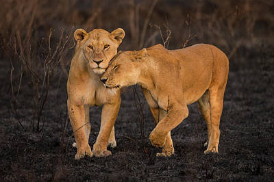 Africa Tanzania African Lions (panthera Poster