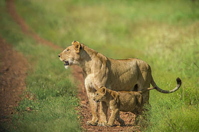 Africa, Tanzania, Lioness With Cub Poster