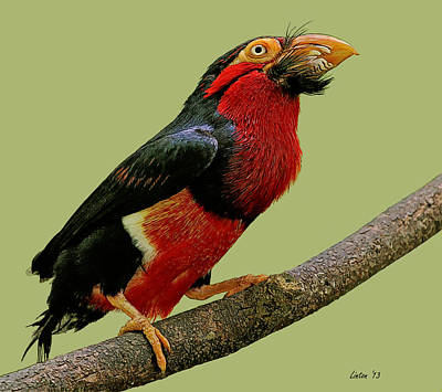 African Bearded Barbet 3 Poster by Larry Linton