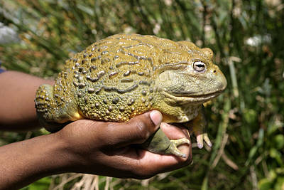 African Bullfrog Or Giant Pyxie Poster