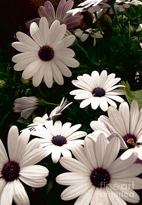 Poster featuring the photograph African Daisies by Debi Dmytryshyn