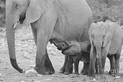 African Elephant - My Big Beautiful Mother Poster by Hermanus A Alberts