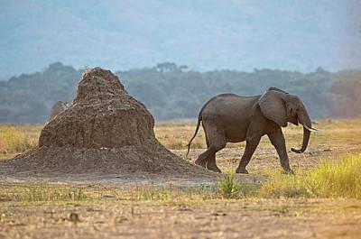 African Elephant Alongside Termite Mound Poster by Tony Camacho