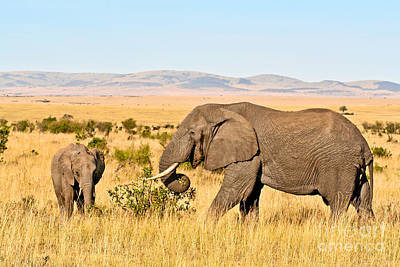 African Elephant And Calf Poster by Liz Leyden