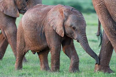 African Elephant Calf With Its Mother Poster by Peter Chadwick
