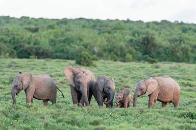 African Elephant Calves Greeting Poster by Peter Chadwick