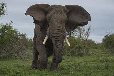 African Elephant Charging Sabi-sands Poster by Sergey Gorshkov