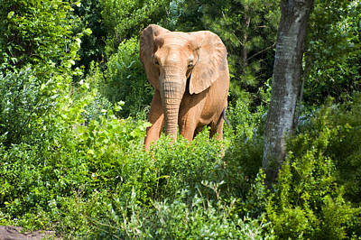 African Elephant Coming Through Trees Poster