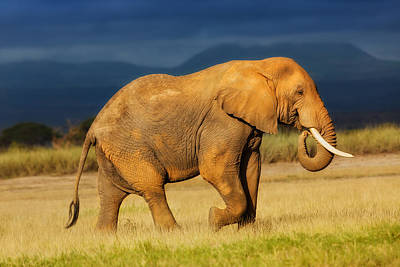 African Elephant Eating Grass Poster by Maggy Meyer