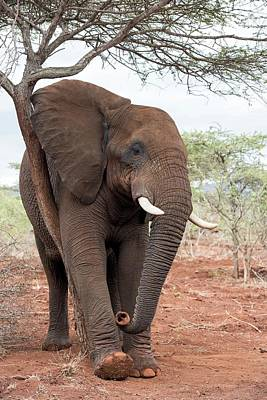 African Elephant Grooming Poster
