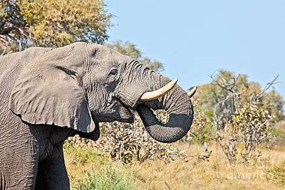 African Elephant In Profile Poster by Liz Leyden