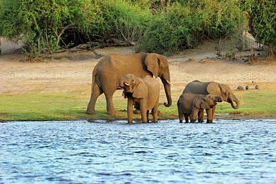 African Elephant (loxodonta Africana Poster