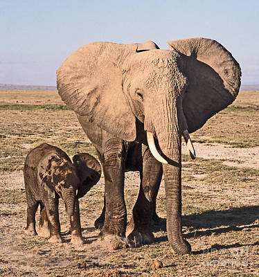 African Elephant Mother And Calf Poster by Liz Leyden