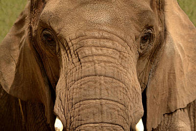 Poster featuring the photograph African Elephant by Nadalyn Larsen