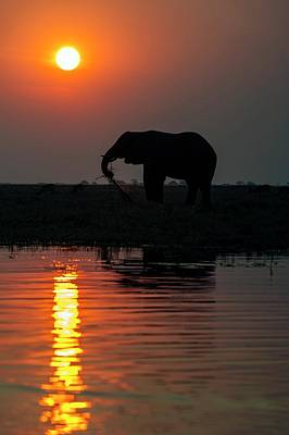 African Elephant On The Chobe River Poster by Peter Chadwick