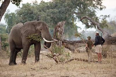 African Elephant With Tourist And Guide Poster by Tony Camacho