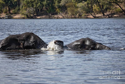 African Elephants Swimming In The Chobe River Botswana Poster
