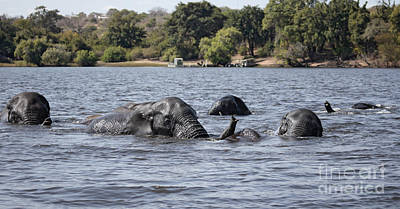 African Elephants Swimming In The Chobe River Poster by Liz Leyden