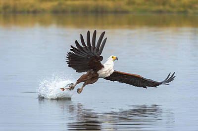 African Fish Eagle Fishing Chobe River Poster by Andrew Schoeman