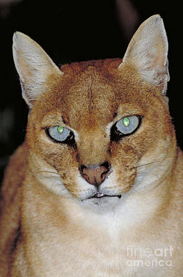 African Golden Cat Felis Aurata Poster