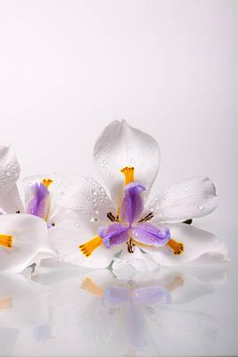 African Irises Ix Poster