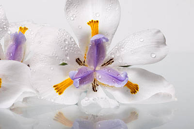 African Irises Xv Poster