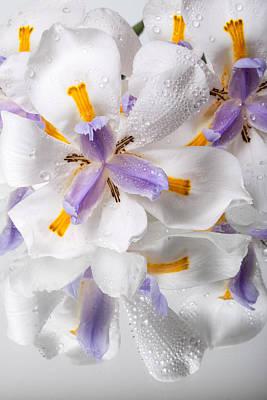 African Irises Xviii Poster