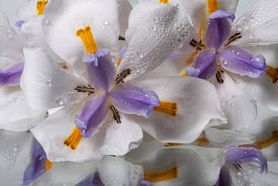 African Irises Xx Poster