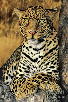 African Leopard Portrait Wildlife Rescue Poster by Dave Welling