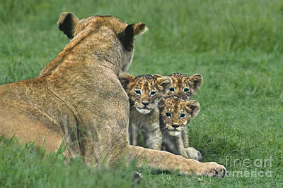 Poster featuring the photograph African Lion Cubs Study The Photographer Tanzania by Dave Welling