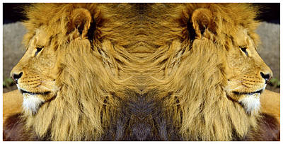 African Lion Poster by Tommytechno Sweden