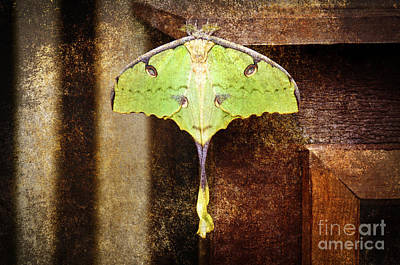African Moon Moth 2 Poster by Andee Design
