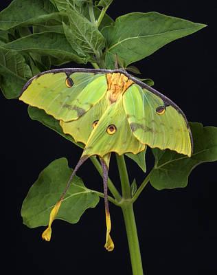 African Moon Moth Argema Mimosae Poster by Robert Jensen
