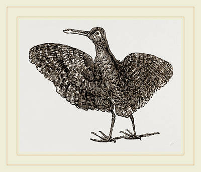 African Painted Snipe Poster by Litz Collection