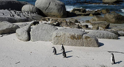 African Penguins Spheniscus Demersus Poster by Panoramic Images