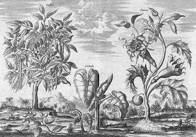 African Plants, 17th Century Poster