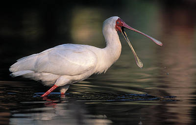 African Spoonbill Poster by Nigel Dennis