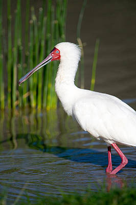African Spoonbill Platalea Alba Poster by Panoramic Images
