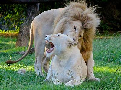 African White Lions Poster