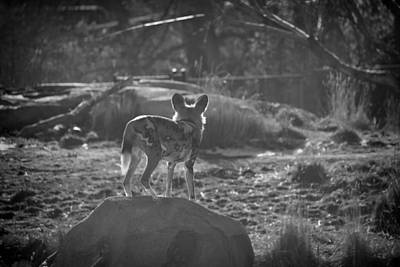 African Wild Dog- Black And White Poster by Becca Buecher
