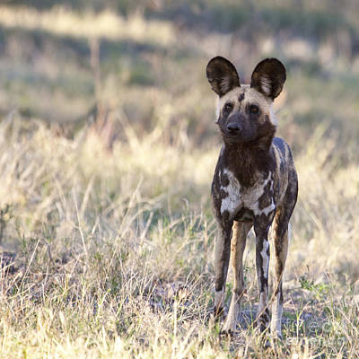 African Wild Dog  Lycaon Pictus Poster