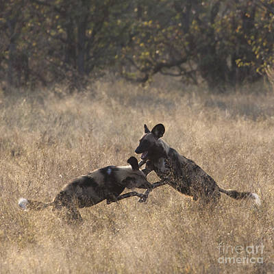 Poster featuring the photograph African Wild Dogs Play-fighting by Liz Leyden