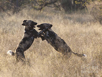 African Wild Dogs Playing Lycaon Pictus Poster by Liz Leyden