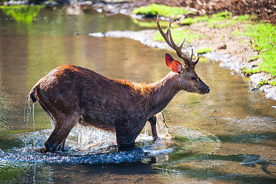 After Bathing. Male Deer In The Pampelmousse Botanical Garden. Mauritius Poster