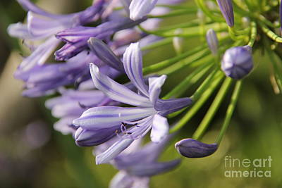 Agapanthus Flower Close-up Poster