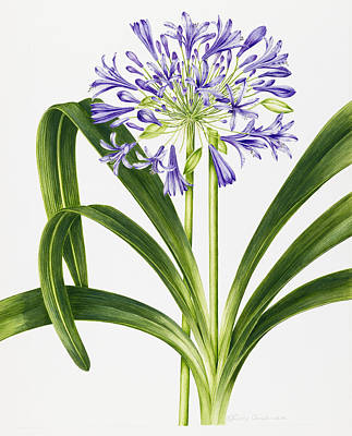 Agapanthus Poster by Sally Crosthwaite