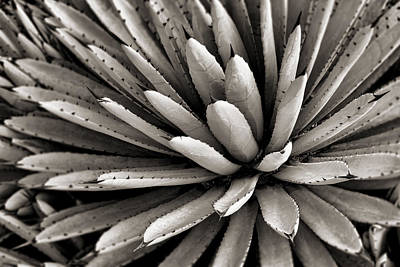 Agave Toned Bw Poster by Kelley King