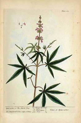 Agnus Castus Plant Poster