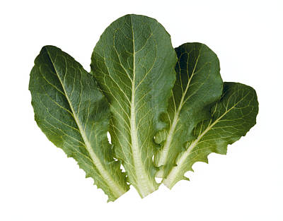 Agriculture - Baby Green Romaine Leaves Poster by Ed Young