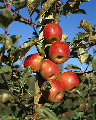 Agriculture - Pink Lady Apples Poster by Gary Holscher